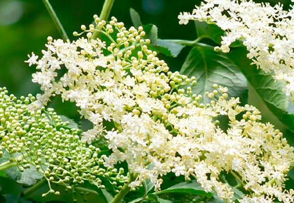 Kwiat Bzu Czarnego 50 R Zdrowe Przyprawy 7776245326 Allegro Pl