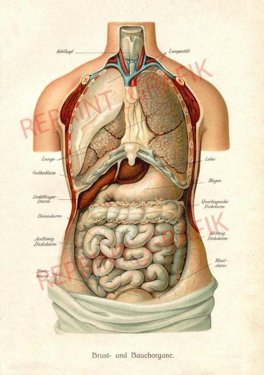 Rycina Anatomia Wnętrzności Człowieka A4 A3 A2 5996542650