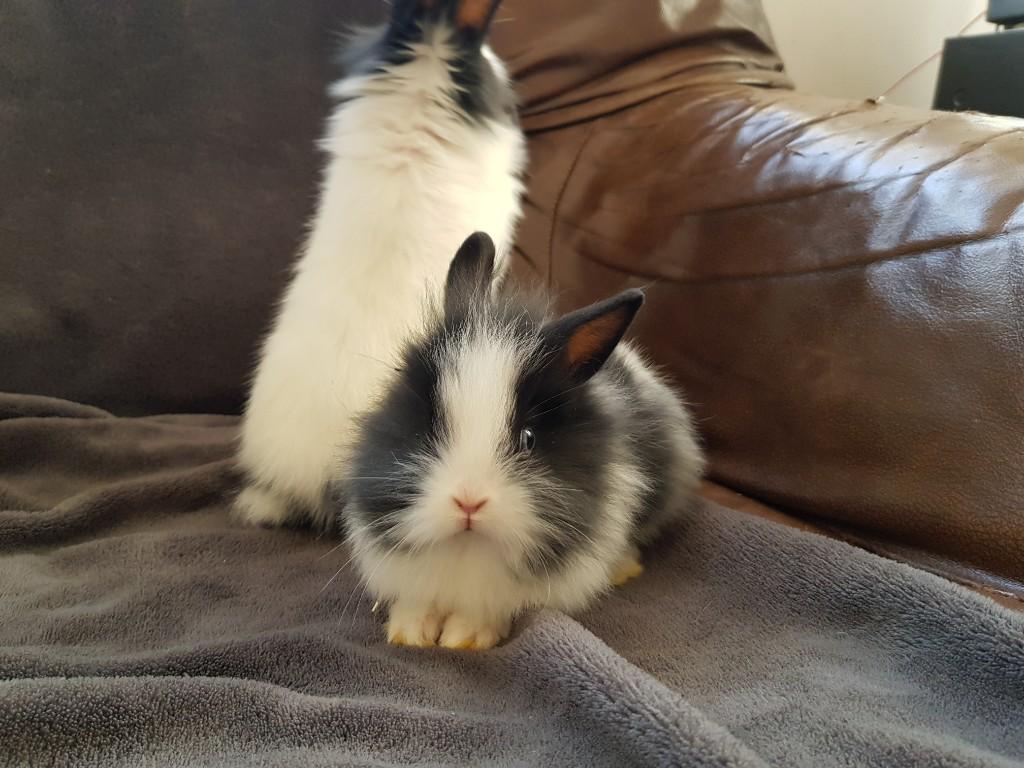 króliczki miniaturka angorki królik