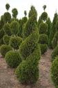 Thuja SZMARAGD zielony SPIRALA tuja 110-130cm C5 Cechy charakterystyczne przyjazne dla zwierząt proste w pielęgnacji oczyszczające powietrze