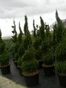 Thuja SZMARAGD zielony SPIRALA tuja 130-150cm C5 Roślina w postaci sadzonka w pojemniku 3-5l