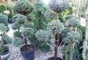 Cyprysik boulevard uformowany na bonsai 60-80cm Roślina w postaci sadzonka w pojemniku 2-3l