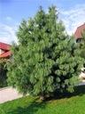 Сосна гималайская Pinus walichiana длинные иглы