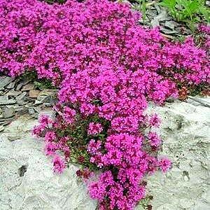 SUPER VOŇAVÁ trvalka - fialovo-ružový tymian