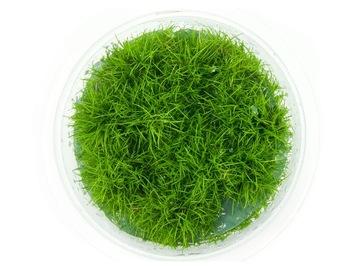 Eleocharis Parvula PONICLE чашка 10см in vitro