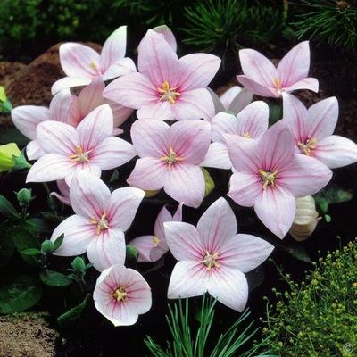ROZWAR цветочный НА красили беседки И СКИДКА РОЗОВЫЙ