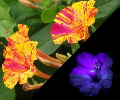 DZIWACZEK цветы Светящиеся в Ночи ФЛУОРЕСЦЕНТНЫЙ
